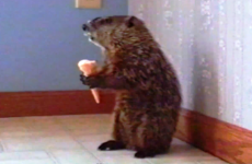 woodchuck eating an ice cream cone